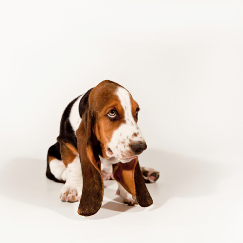 and now for something totally different- Basset Hounds!